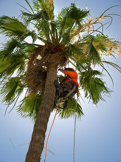 Treetime Design Climbing Palm Trees Safely